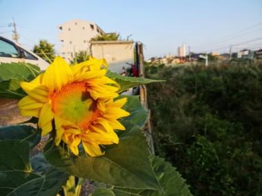 山陰本線沿いの民家の庭のヒマワリ(6月8日朝)