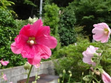 タチアオイが梅雨の晴れ間に咲いていた(6月27日)