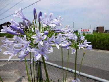 猛暑に咲くアガパンサス(7月12日)