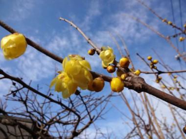 いま、ロウバイが咲いています。(1/27)