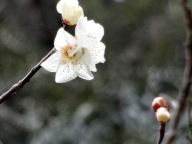 小さな梅の花が咲きました。(2/17鳥取市おおち谷公園)