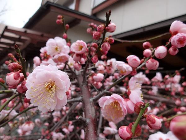 紅梅が咲いています。(3/1、丸山町で)