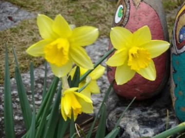 黄色いスイセンの花が冷たい風に揺られています(3/21)