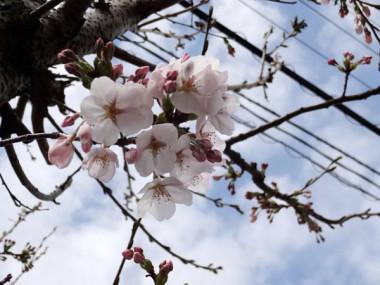 我が家の桜の木も開花した。(3/29)