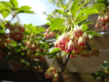 我が家の庭のどうだんツツジが咲きました。(5/2)