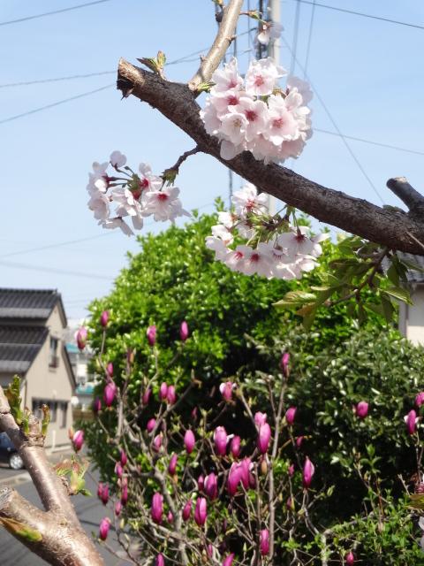 桜とモクレン(4月22日)