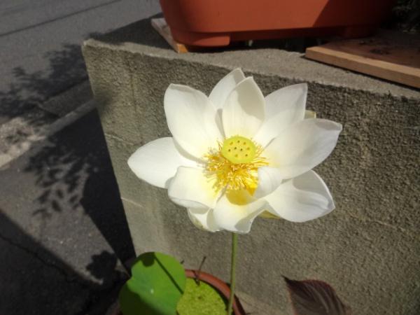 我が家のハスが咲きました(7/1)